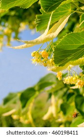 Blooming linden. Beautiful color raging tree. Summer day, sunny weather
