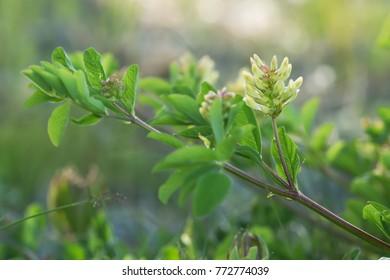 Blooming liquorice milkvetch, Astragalus glycyphyllos