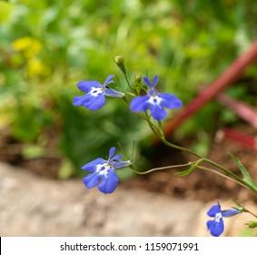 Blooming Lobelia erinus ,edging lobelia, garden lobelia or trailing lobelia.
