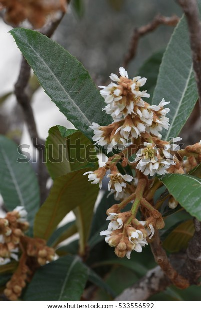 blooming of loquat flower in the automn