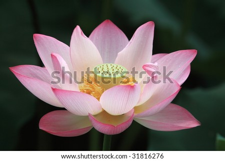 Blooming Lotus Flower Yellow Seed Head Stock Photo Edit Now