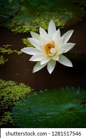 Blooming Lotus Flowers on a Lily Pond at a Balinese Temple. The Lotus Flower, significant in the Balinese culture, symbolizing grace, purity, and transcendence.