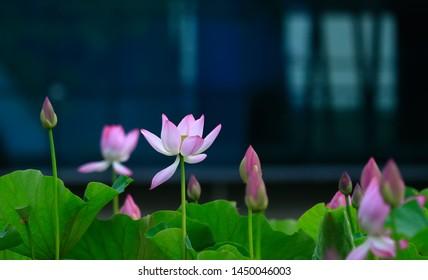 Blooming lotus, in the park