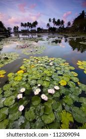 Blooming lotus pond in Candidasa, Bali