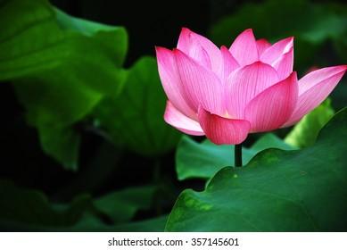 blooming lotus in summer