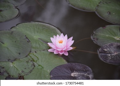 Blooming lotus pond,zen,holy, Water lily