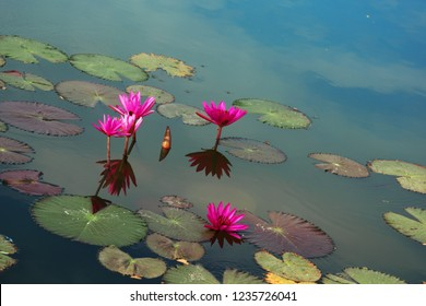 Blooming lotuses on water surface of a pond. Thailand