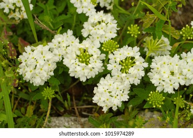 Blooming lovely white Common Garden verbena or rose vervain (verbena peruviana) is small lovely flower in blue, violet, purple, rose, dark red, yellow, white and bicolor ,use as an ornamental plant.