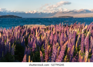 Blooming Lupin at Tekapo lake during springtime, New Zealand