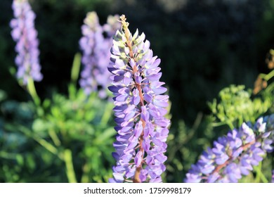 A blooming lupine flower with a dark background