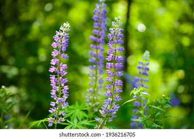 Blooming lupine flower. Lupine, a field of lupine with pink purple and blue flowers. Bouquet of lupines summer floral background. Lupine field. Purple spring and summer flower. nature close-up