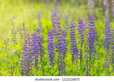 Blooming lupine flowers. A field of lupines. Violet and pink lupin in meadow. Colorful bunch of lupines summer flower background or greeting card. Beauty flowers of blue lupine in morning light