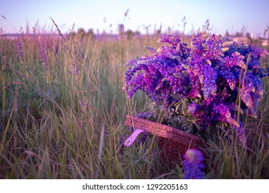 Blooming lupine flowers. A field of lupines. Violet and pink lupin in meadow. Colorful bunch of lupines summer flower background or greeting card