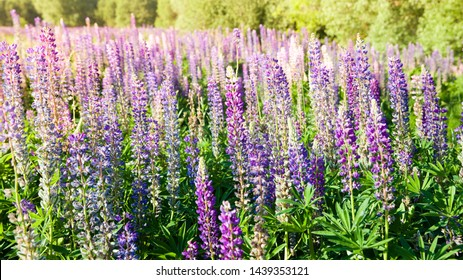 Blooming lupine flowers. A field of lupines. Violet and pink lupin in meadow. Colorful bunch of lupines summer flower background or greeting card.