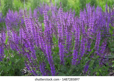 Blooming lupine flowers. Violet lupin in meadow. Colorful bunch of lupines summer flower background or greeting card