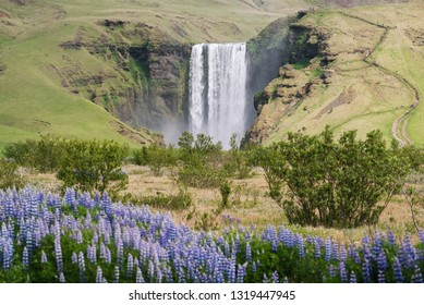 Blooming lupine near the Skogafoss waterfall. Summer landscape in Iceland. Famous scenic view. Sunny weather