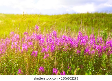 Blooming lupines in the field on a Sunny day