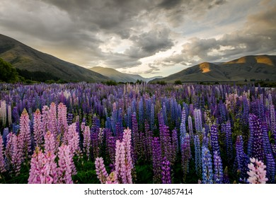 Blooming Lupins in the Canterbury Region of New Zealand