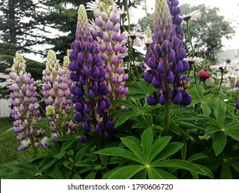 Blooming Lupins in a Garden