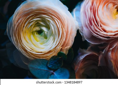 Blooming macro ranunculus. Delicate pink roses closeup with gentle background. Luxury flowering bouquet for wedding invitations, birhtday cards, poster, prints, greetings, valentines, nature calendar