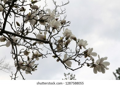 Blooming magnolia branch on the sky background