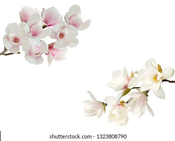 Blooming magnolia flower isolated on white background.