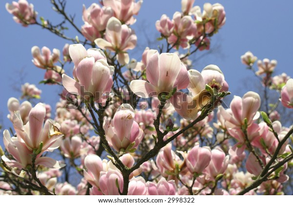 blooming magnolia in a park in springtime