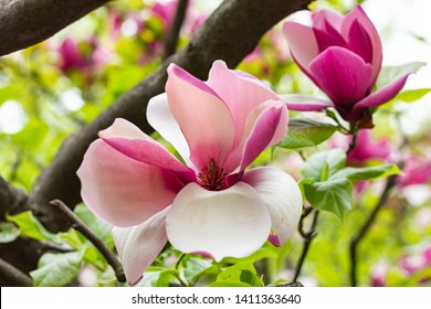 Blooming magnolia tree with large pink flowers in a botanical garden. In the background are branches and leaves of magnolia. Close-up.