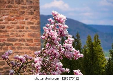 Blooming magnolia tree in Miltenberg/Germany