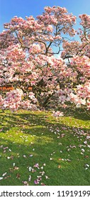 Blooming magnolia tree in park