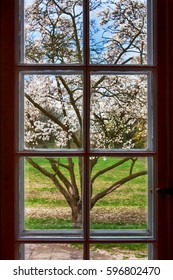 blooming magnolia tree as seen from inside the closed window