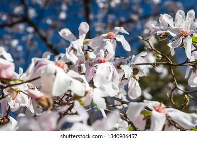 Blooming magnolias against a clear blue sky in early Spring in a public park in Madrid, Spain.