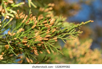 Blooming male Eastern Red Cedar in winter, ready to release lots of pollen that is a potent allergen
