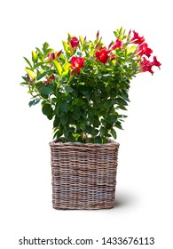 blooming mandevilla sanderi plant potted in basket isolated on white background