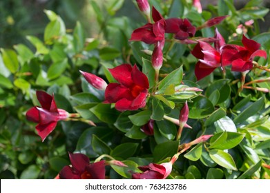 Blooming Mandevilla sanderi Red Riding Hood with red flowers, beautiful garden plant native to Rio de Janeiro