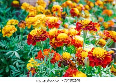 blooming marigold flower in garden, shallow dept of field