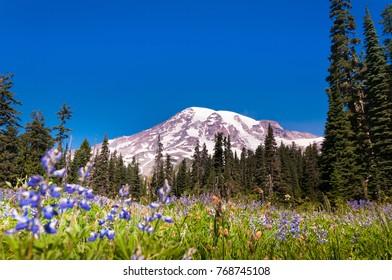 Blooming meadow at Mount Rainier