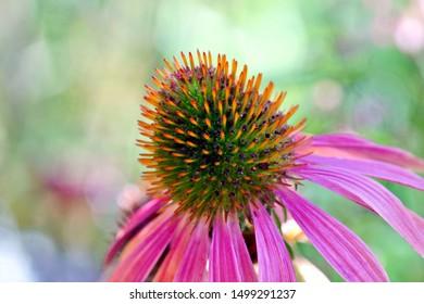 Blooming medicinal herb Echinacea purpurea, eastern purple coneflower, hedgehog coneflower or purple coneflower, selective focus, close-up of flower head.