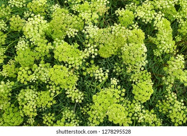 Blooming Mediterranean herb Rock Samphire, Latin name Crithmum maritimum, healthy herb with amazing health benefits