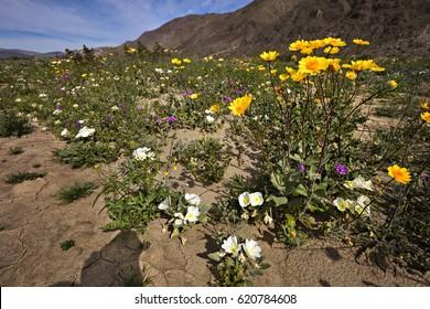 Blooming Mojave Desert at Anza Borrego Springs.