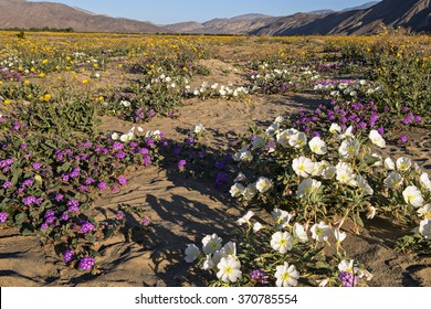 Blooming Mojave Desert near Anza Borrego Springs, California.