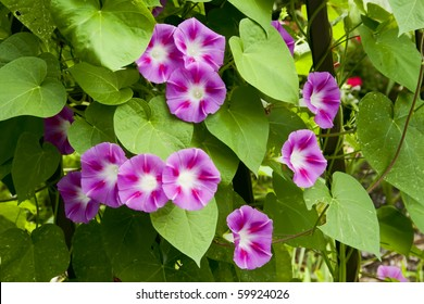 Blooming morning glory vine