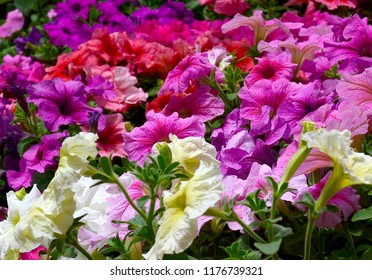 Blooming multicolored Petunias on a flower bed close up.Colorful flowers of Petunia hybrida as a bright floral background.Ornamental plants concept.Selective focus.