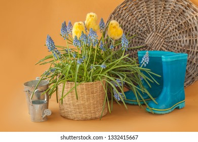 Blooming Muscari and Chickens-Stickers and blue rubber boots on a mustard background. The concept of the beginning of the garden season