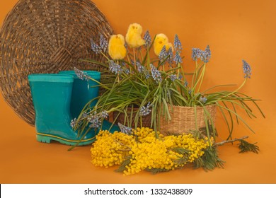 Blooming Muscari, mimosa and Chickens-Stickers next blue rubber boots on a mustard background. The concept of the beginning of the garden season