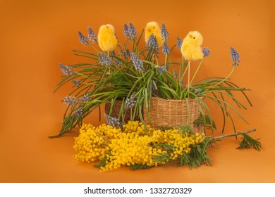 Blooming Muscari, mimosa and Chickens-Stickers  on a mustard background. The concept of the beginning of the garden season