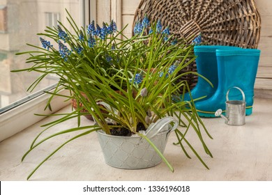 Blooming Muscari on the background of blue rubber boots and decorative watering can
