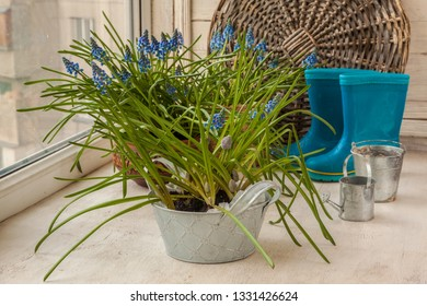 Blooming Muscari on the background of rubber boots and decorative watering can