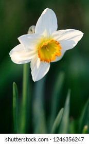 Blooming Poet's Narcissus flower, know also as Poet's Daffodil, Nargis, Phesant's eye, Findern flower or Pinkster lily - Narcissus poeticus - in spring season in a botanical garden