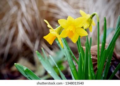 Blooming Narcissus pseudonarcissus